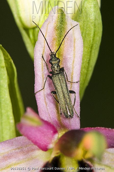 Flower beetle (Oedemera nobilis) female on Bertoloni's bee orchid (Ophrys bertolonii) Italy  -  Paul Harcourt Davies/ npl