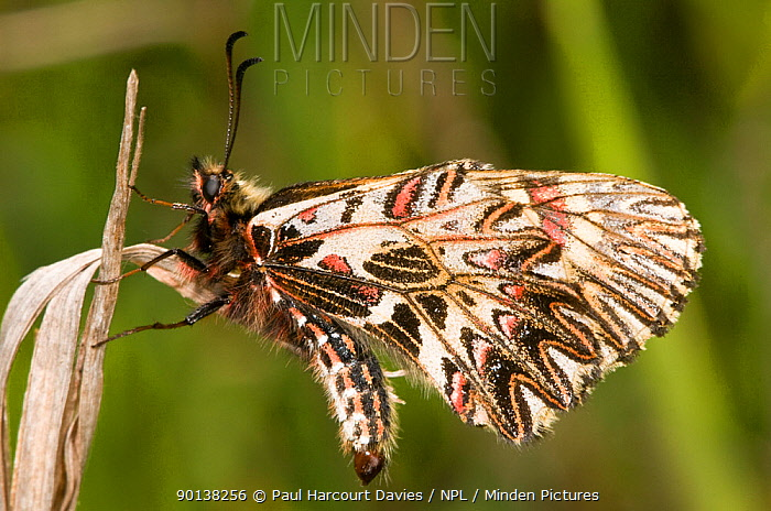Southern festoon butterfly (Zerynthia polyxena) showing the pattern on the underwings, Italy  -  Paul Harcourt Davies/ npl