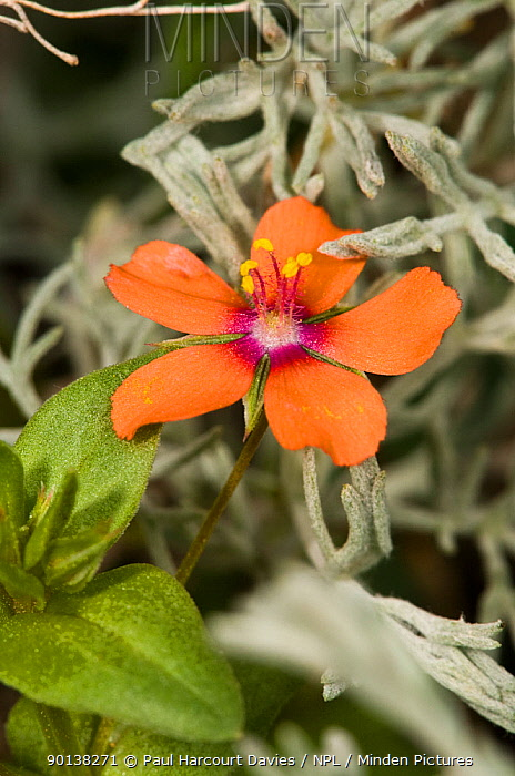 Scarlet pimpernel (Anagallis arvensis) Italy  -  Paul Harcourt Davies/ npl