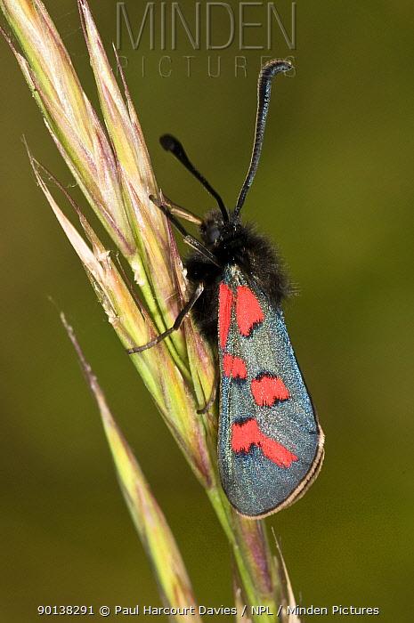 Six spot burnet moth (Zygaena filipendulae) on grass seed head, Italy  -  Paul Harcourt Davies/ npl