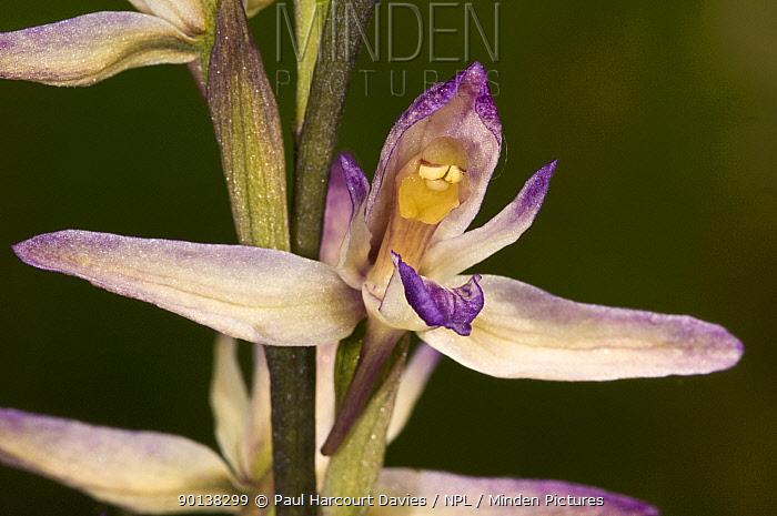 Violet bird's nest orchid, limodore (Limodorum abortivum) flower, Italy  -  Paul Harcourt Davies/ npl