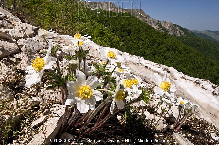 Alpine pasque flower (Pulsatilla alpina) flowering on Mt Terminillo, Apennines, Italy  -  Paul Harcourt Davies/ npl