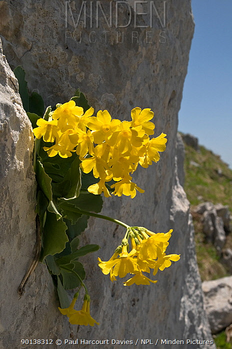 Bear's ear primrose (Primula auricula) flowering on rock face, Apennines, Italy  -  Paul Harcourt Davies/ npl