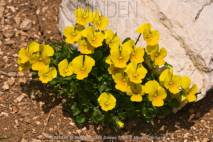 Eugenia's pansy (Viola eugeniae) yellow variety, Simbruini National Park, Apennines, Italy  -  Paul Harcourt Davies/ npl