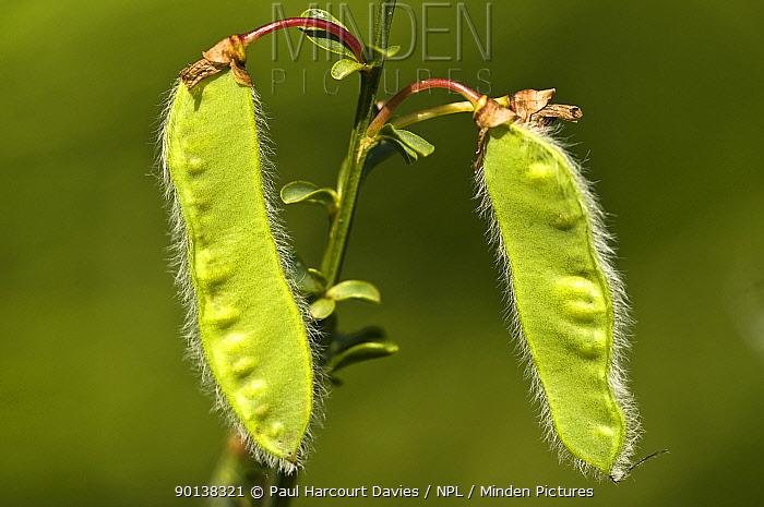 Seedpods of the Spanish Broom (Spartium junceum) Italy  -  Paul Harcourt Davies/ npl