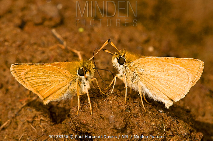 Small skipper butterflies (Thymelicus sylvestris) feeding on mud containing boar and other animal droppings from which they obtain minerals and salts, Italy  -  Paul Harcourt Davies/ npl