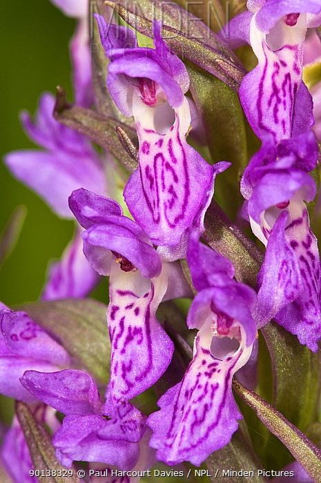 Early marsh orchid (Dactylorhiza incarnata) Italy  -  Paul Harcourt Davies/ npl