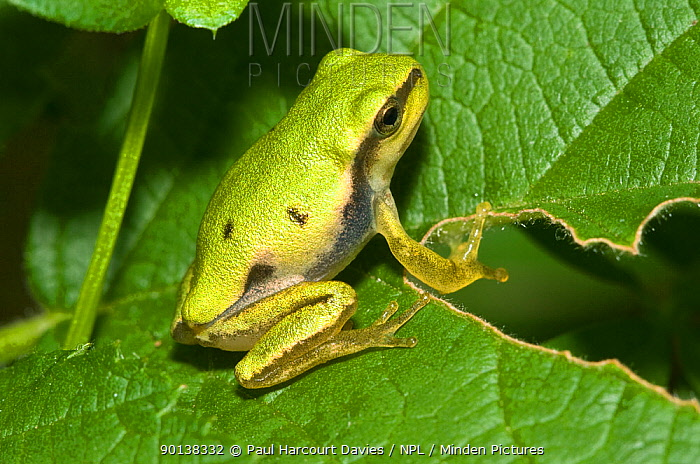 Italian tree frog (Hyla intermedia) on leaves, Italy  -  Paul Harcourt Davies/ npl