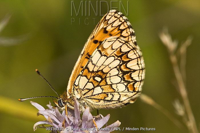 Knapweed fritillary butterfly (Melitaea phoebe) feeding, underwing showing, Italy  -  Paul Harcourt Davies/ npl