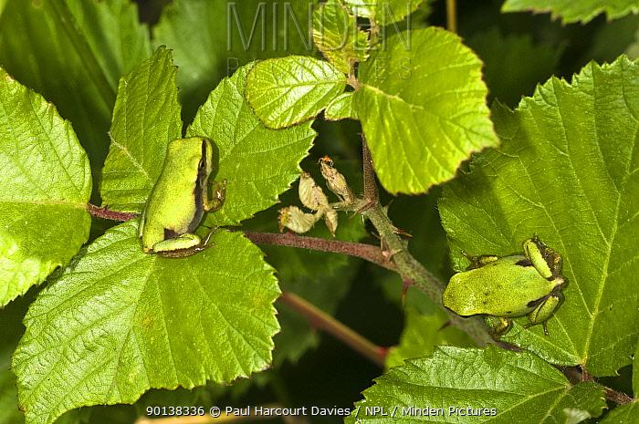 Italian tree frogs (Hyla intermedia) camouflaged on green bramble leaves, Italy  -  Paul Harcourt Davies/ npl