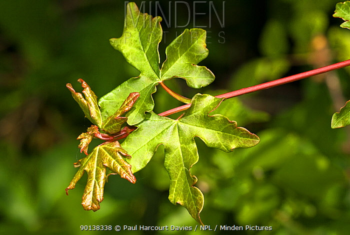 Leaves of the Field maple tree (Acer campestre) Italy  -  Paul Harcourt Davies/ npl