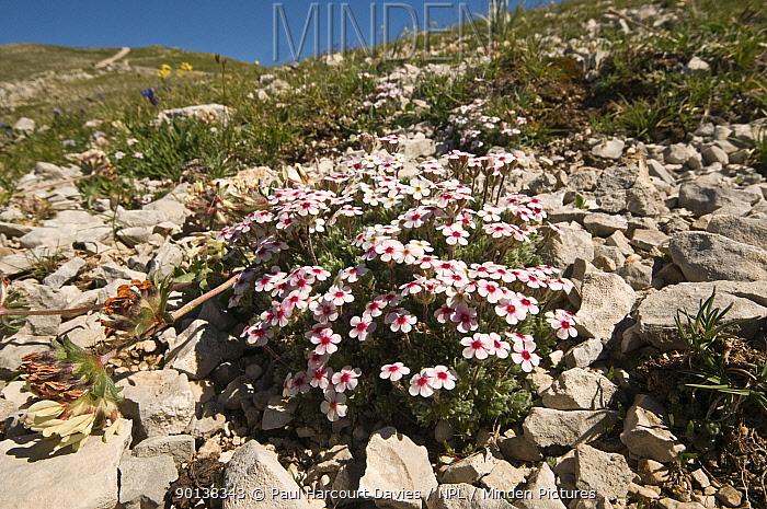 Rock jasmine (Androsace villosa) flowering on limestone scree in the Simbruini National Park, Appenines, Italy  -  Paul Harcourt Davies/ npl