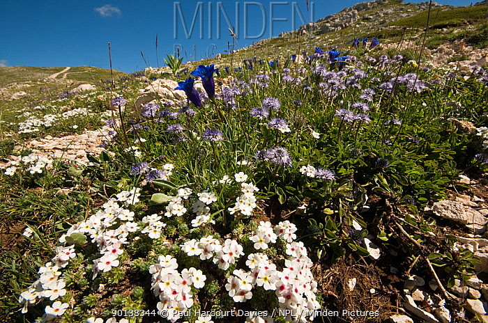 Alpine flowers in the Simbruini Mts NP, Apennines, Italy (Androsace villosa) white, (Gentiana dinarica) blue, and (Globularia alpina) purple  -  Paul Harcourt Davies/ npl