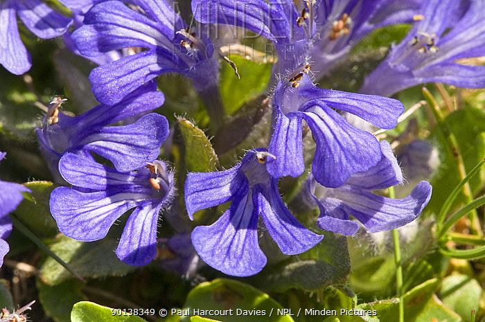 Tenore's bugle (Ajuga tenore) flowering in the Simbruini Mountains NP, Apennines, Italy  -  Paul Harcourt Davies/ npl