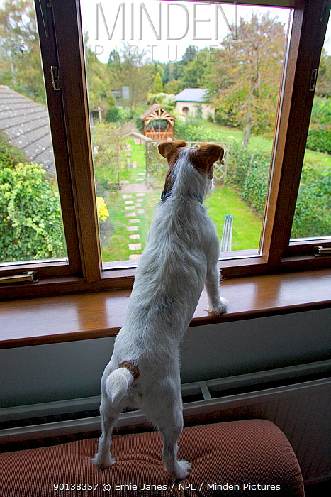Jack Russell terrier looking out from window on rabbit alert, UK, October 2004  -  Ernie Janes/ npl