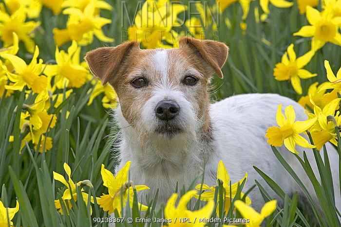 Jack Russell terrier in garden amongst daffodils, UK, March  -  Ernie Janes/ npl
