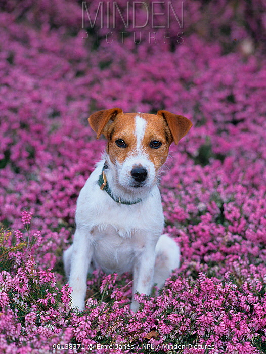 Jack russell terrier amongst Heather flowers, UK  -  Ernie Janes/ npl