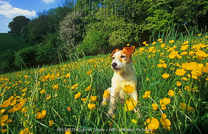 Jack russell terrier sitting in field of Buttercup flowers, UK  -  Ernie Janes/ npl