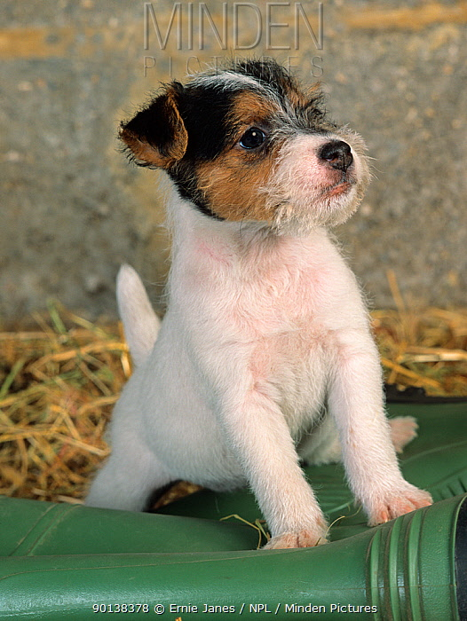 Jack russell terrier, puppy, portrait with wellington boot  -  Ernie Janes/ npl