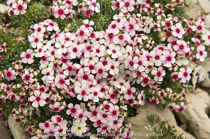 Rock jasmine (Androsace villosa) flowering on limestone scree in the Simbruini Mountains NP, Apennines, Italy  -  Paul Harcourt Davies/ npl