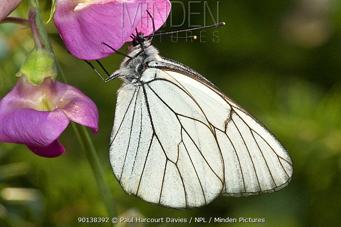 Black-veined white butterfly (Aporia crataegi) feeding on bean flower, Italy  -  Paul Harcourt Davies/ npl