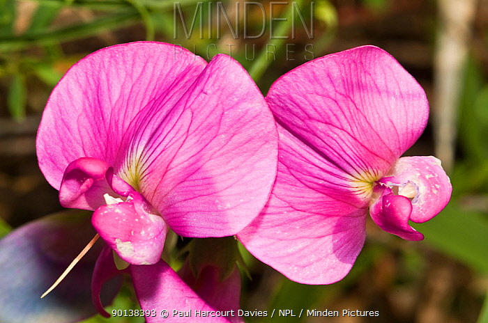 Broad leaved everlasting pea (Lathyrus latifolius) forerunner of the cultivated sweet pea, the pods and their contents are edible and sweet, Italy  -  Paul Harcourt Davies/ npl