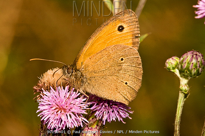 Meadow brown butterfly (Maniola jurtina) male with characteristic spots on lower side of hindwing, Italy  -  Paul Harcourt Davies/ npl