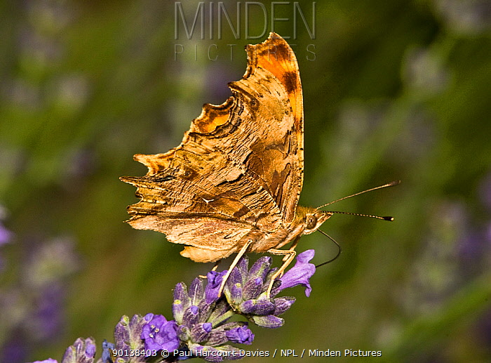 Southern comma butterfly (Polygonia egea) feeding on nectar from Lavender flowers, Italy  -  Paul Harcourt Davies/ npl