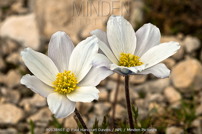 Alpine pasque flowers (Pulsatilla alpina) flowering soon after the snow has melted, Mt Terminillo, Apennines, Italy  -  Paul Harcourt Davies/ npl