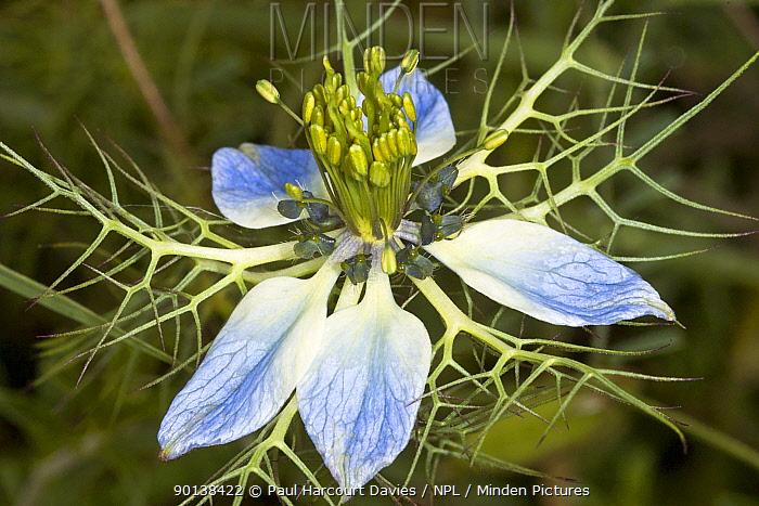 Love-in-a-mist, Wild fennel (Nigella arvensis) a bicoloured flower population in Sicily, Italy  -  Paul Harcourt Davies/ npl
