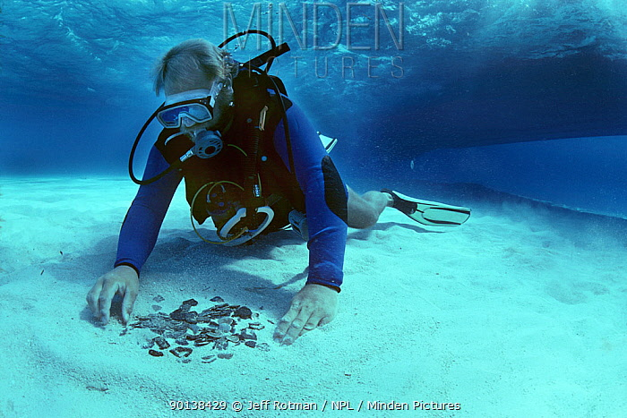 Diver recovering gold and silver coins from the shipwreck Las Maravillas, a Spanish galleon sunk in 1658, Bahamas 1987  -  Jeff Rotman/ npl