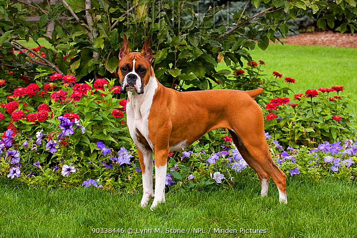 Portrait of Flashy fawn coloured Boxer with cropped ears, standing by flower border, with tail docked Illinois, USA  -  Lynn M. Stone/ npl