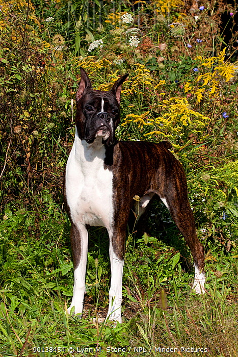 Dark brindle Boxer with cropped ears and docked tail, standing next to ragwood and late summer field plants, Illinois, USA  -  Lynn M. Stone/ npl