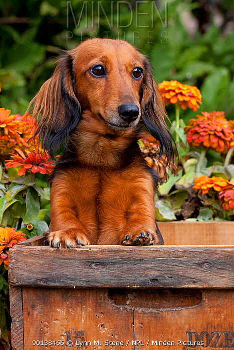 Head portrait of long haired Dachshund in antique wooden box with zinnias in background, Illinois, USA  -  Lynn M. Stone/ npl