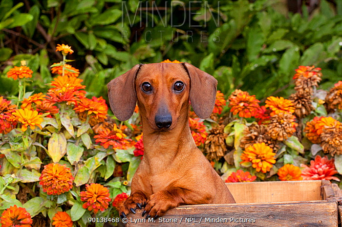 Head portrait of tan miniature Dachshund in antique wooden box with zinnias in background, Illinois, USA  -  Lynn M. Stone/ npl