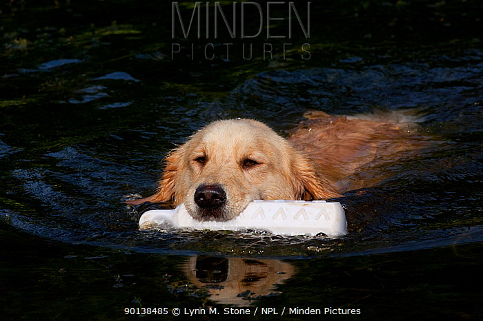 Young Golden Retriever swimming with training bumper, Connecticut, USA  -  Lynn M. Stone/ npl