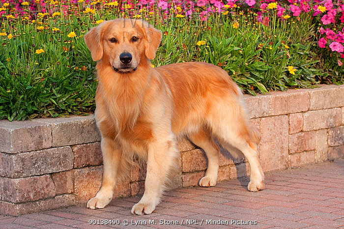 Portrait of male Golden Retriever standing in show stack pose, in garden, Illinois, USA  -  Lynn M. Stone/ npl