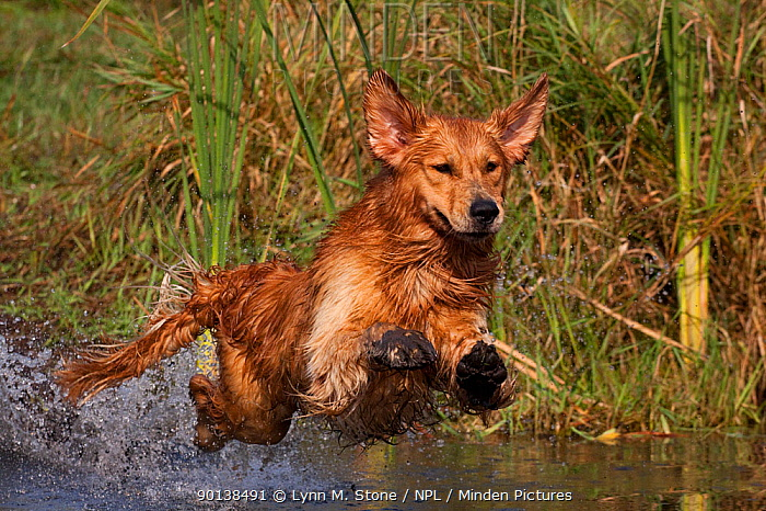Golden Retriever lunging into pond to begin retrieve, Woodstock, Illinois, USA  -  Lynn M. Stone/ npl