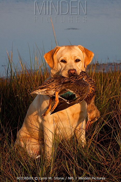 Portrait of yellow Labrador Retriever with female Mallard duck, sitting in salt marsh grass at low tide, Rhode Island, USA  -  Lynn M. Stone/ npl
