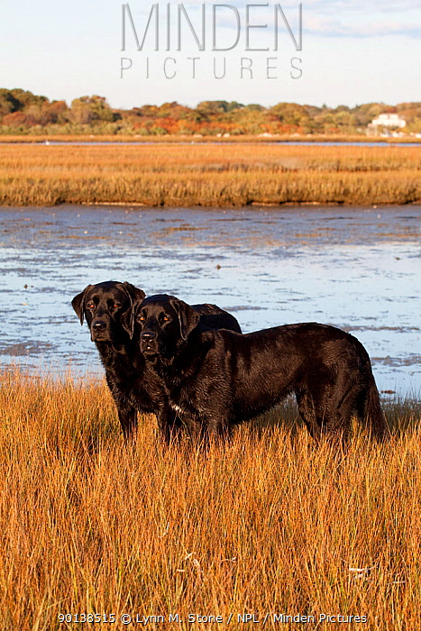 Pair of black Labrador Retrievers in spartina grass of salt marsh, Charlestown, Rhode Island, USA  -  Lynn M. Stone/ npl