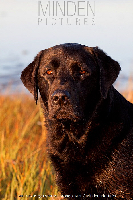 Head portrait of black Labrador Retriever in spartina grass of salt marsh, Charlestown, Rhode Island, USA  -  Lynn M. Stone/ npl