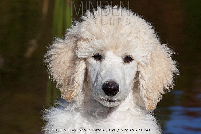 Head portrait of Standard Poodle puppy standing by freshwater pond, Putnam, Connecticut, USA  -  Lynn M. Stone/ npl