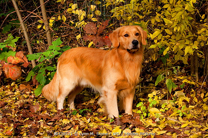 Golden Retriever standing in stack pose in autumn leaves, Illinois, USA  -  Lynn M. Stone/ npl