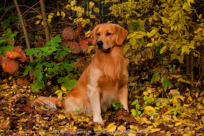 Golden Retriever sitting in autumn leaves, Illinois, USA  -  Lynn M. Stone/ npl