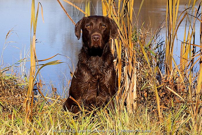 Portrait of chocolate Labrador Retriever sitting at pond edge, Wisconsin, USA  -  Lynn M. Stone/ npl
