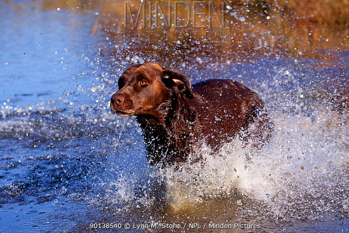 Chocolate Labrador Retriever on retreive, running, splashing into pond, Wisconsin, USA  -  Lynn M. Stone/ npl