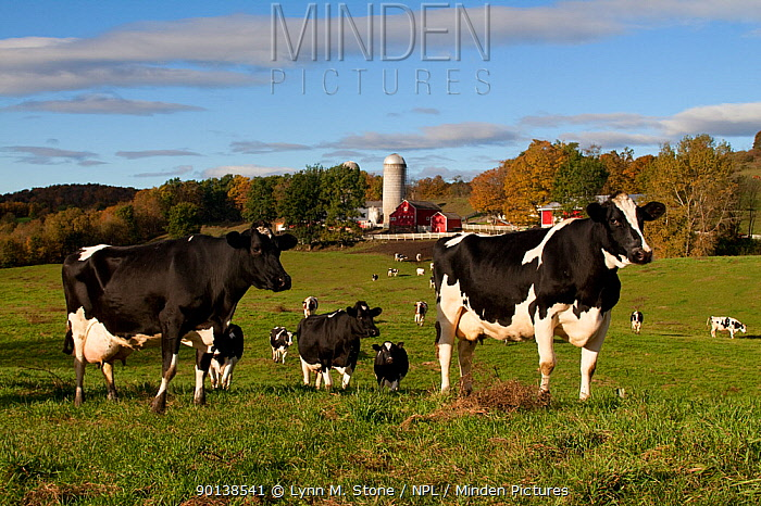 Holstein, Friesian cattle (Bo-taurus) on pasture, with in dairy farm buildings behind, Granville, New York, USA (Released)  -  Lynn M. Stone/ npl