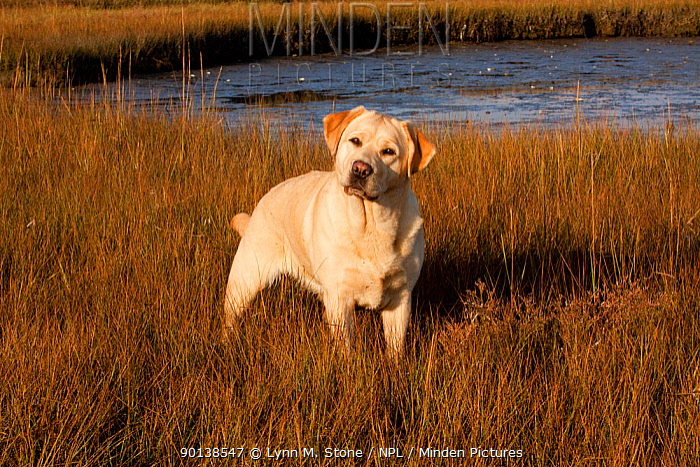 Yellow Labrador Retriever standing in spartina salt marsh grass at low tide, Rhode Island, USA  -  Lynn M. Stone/ npl