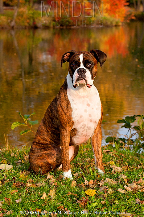 Portrait of male Boxer light brindle coloured, with natural ears, sitting on grass by lake, Illinois, USA  -  Lynn M. Stone/ npl