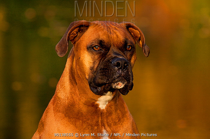 Portrait of male Boxer, fawn coloured, with natural ears, sitting on grass by lake, Illinois, USA  -  Lynn M. Stone/ npl